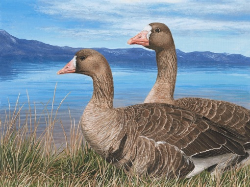 """Great White-Fronted Geese"" Limited Edition Giclee Prints available. Copyright Holly Kavonic"